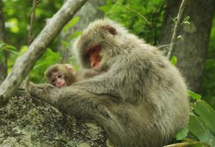 裏磐梯の赤ちゃん猿を抱えるお母さん猿の写真素材 [FYI01422864]