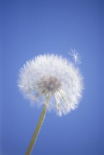 たんぽぽの綿毛の写真素材 [FYI01423049]