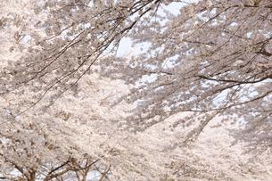 桜並木の写真素材 [FYI01423057]
