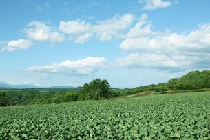 嬬恋村のキャベツ畑の写真素材 [FYI01423162]
