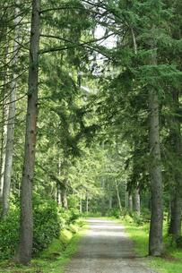 ドイツトウヒ林の街道の写真素材 [FYI01423318]