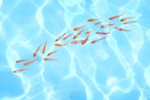 光り輝く水の波紋の中で泳ぐ金魚の写真素材 [FYI01423395]