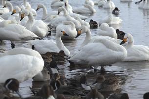 冬の猪苗代湖と白鳥の写真素材 [FYI01423525]
