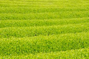 茶畑の写真素材 [FYI01424555]