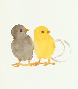 2羽の横を向くヒヨコと卵の殻  水彩画のイラスト素材 [FYI01424700]