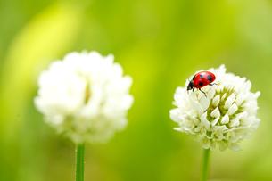 白つめ草とテントウ虫の写真素材 [FYI01425008]