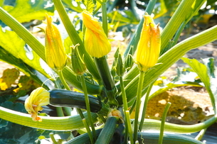 ズッキーニの花の写真素材 [FYI01425232]