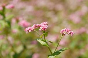 そばの花(赤)の写真素材 [FYI01425370]