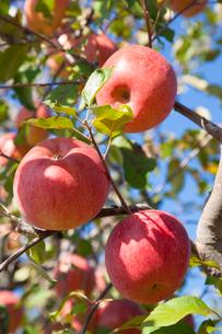 りんご(ふじ)の写真素材 [FYI01425379]