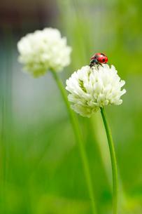 白つめ草とテントウ虫の写真素材 [FYI01425391]