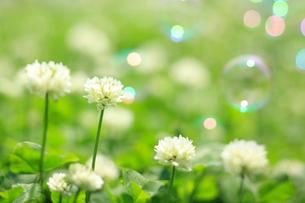 しろつめ草の写真素材 [FYI01425399]