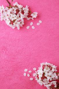 ピンクの和紙に桜の花びらの写真素材 [FYI01425411]