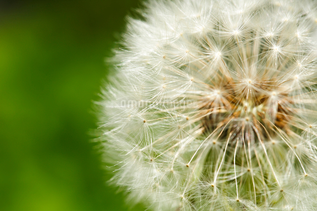 タンポポの綿毛の写真素材 [FYI01425466]