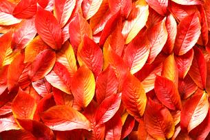 サクラの葉の紅葉の写真素材 [FYI01425492]