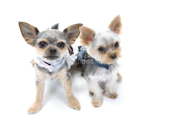 洋服を着た二匹の犬の写真素材 [FYI01425797]