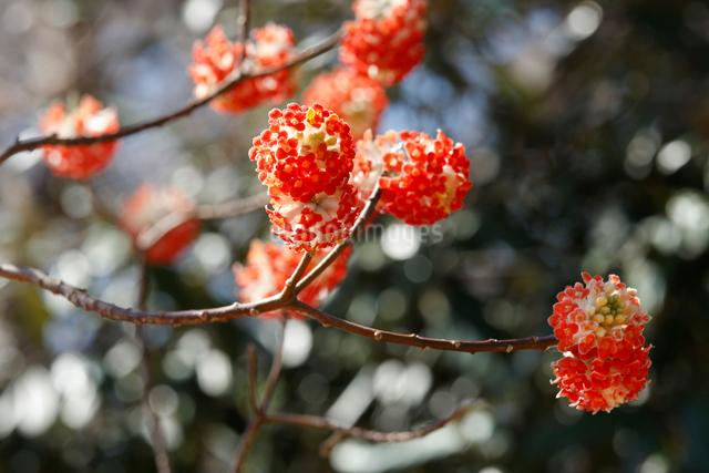 ミツマタ(三椏)・アカバナミツマタの花の写真素材 [FYI01425850]