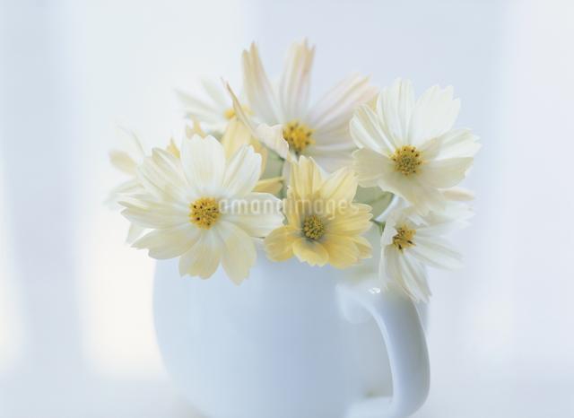 コスモスの花とミルクピッチャーの写真素材 [FYI01425907]