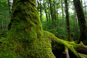 原生林(トウヒの木)の写真素材 [FYI01425928]