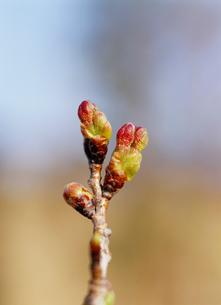 桜(染井吉野)の蕾の写真素材 [FYI01426002]