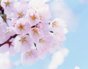 桜(ソメイヨシノ)の写真素材 [FYI01426042]