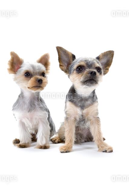 二匹の犬の写真素材 [FYI01426188]
