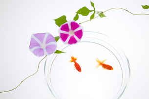 濃いピンクと紫色のアサガオの花とキンギョの写真素材 [FYI01426646]