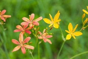 キャンディリリーの花の写真素材 [FYI01426705]