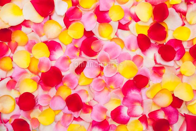 黄色とピンクと赤のバラの花びらの写真素材 [FYI01426851]