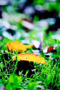 黄葉する桜の落葉の写真素材 [FYI01426856]