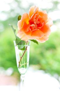 シャンパングラスのオレンジ色のバラの花の写真素材 [FYI01426898]