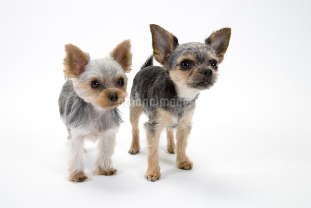 二匹の犬の写真素材 [FYI01426908]
