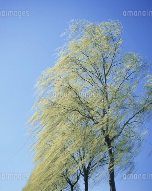 ヤナギ新緑の写真素材 [FYI01426914]