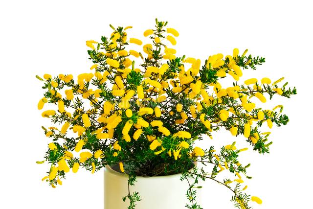 アカシアの花の鉢植えの写真素材 [FYI01426916]