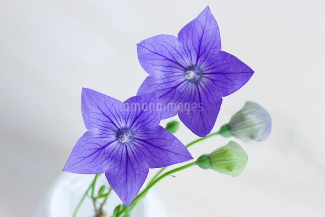 キキョウの花の写真素材 [FYI01426933]