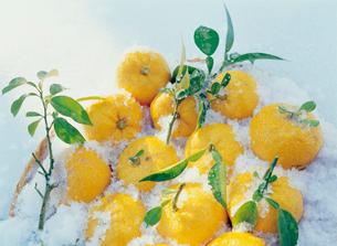 雪とユズの写真素材 [FYI01426960]