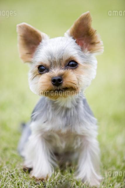 犬の写真素材 [FYI01426974]