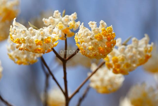 ミツマタ(三椏)の花の写真素材 [FYI01427149]