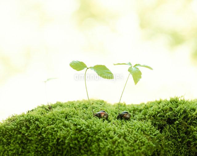 ドングリの発芽の写真素材 [FYI01427271]