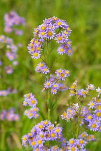 シオン 紫苑の写真素材 [FYI01427278]