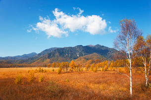 秋の戦場ヶ原の草紅葉と白樺と唐松の写真素材 [FYI01427320]