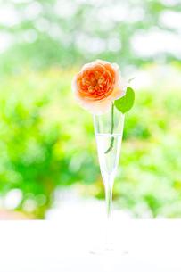 シャンパングラスのオレンジ色のバラの花の写真素材 [FYI01427561]