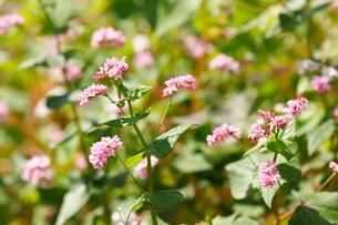そばの花(赤)の写真素材 [FYI01427651]