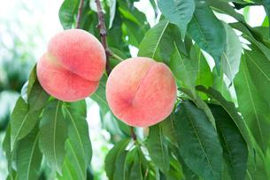 果樹園で実るモモ  あかつきの写真素材 [FYI01427769]