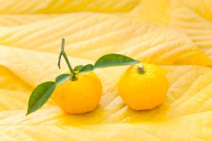 黄葉したポポーの葉にのったユズの写真素材 [FYI01427788]