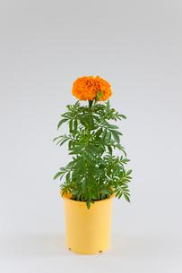 鉢植えのオレンジ色の花の写真素材 [FYI01427791]