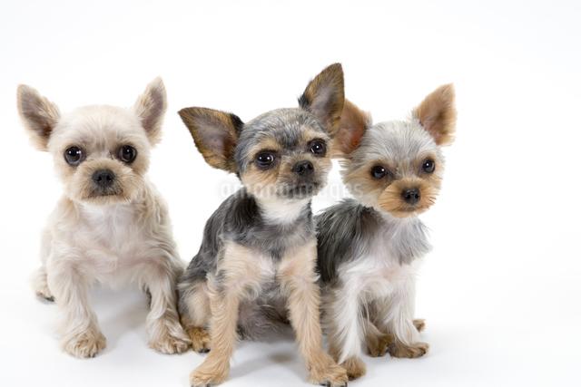 お座りする三匹の犬の写真素材 [FYI01427956]