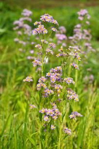 シオン 紫苑の写真素材 [FYI01428017]
