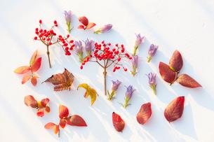 秋の花と実と紅葉した葉の写真素材 [FYI01428021]