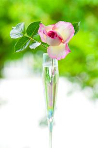 シャンパングラスに入ったピンクのバラの花の写真素材 [FYI01428131]