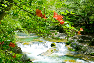 ヤマツツジの花と新緑の男鹿川の写真素材 [FYI01428196]